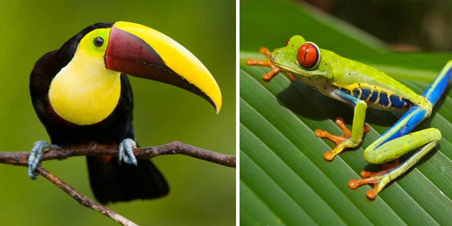 ToucanGrenouille